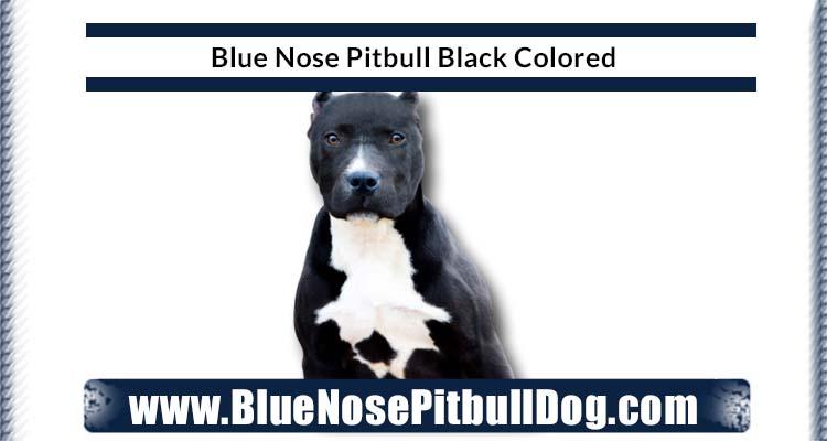 Blue Nose Pitbull Black
