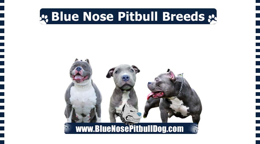 Blue Nose Pitbull Breeds