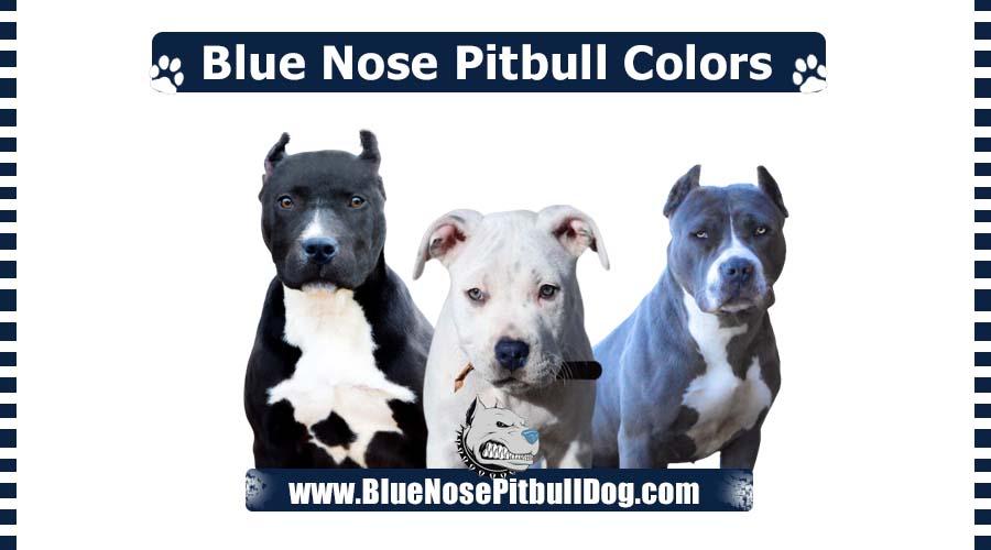Blue Nose Pitbull Colors