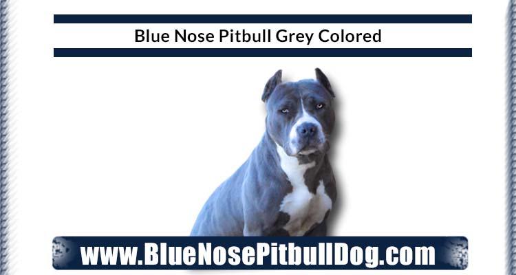 Blue Nose Pitbull Grey Color