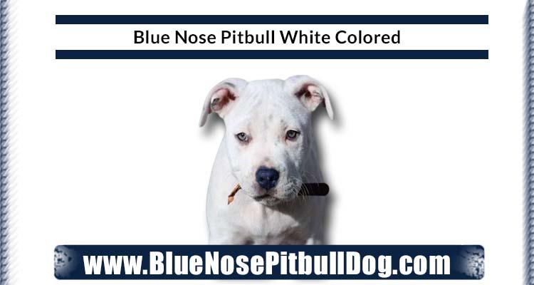 Blue Nose Pitbull White Color