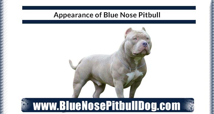 appearance of blue nose pitbull