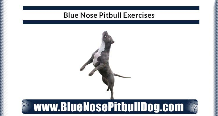 blue nose pitbull exercises