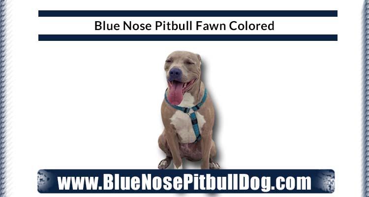 blue nose pitbull fawn