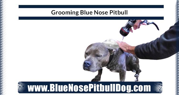 grooming blue nose pitbull