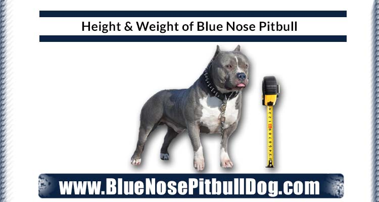 height and weight of blue nose pitbull