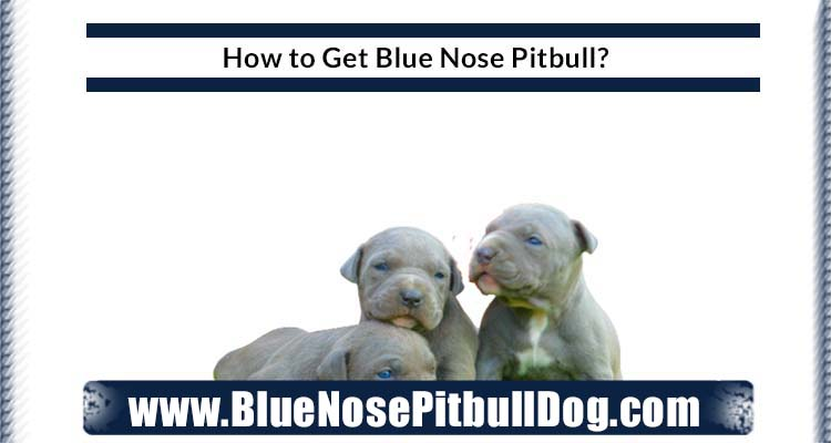how to get blue nose pitbull