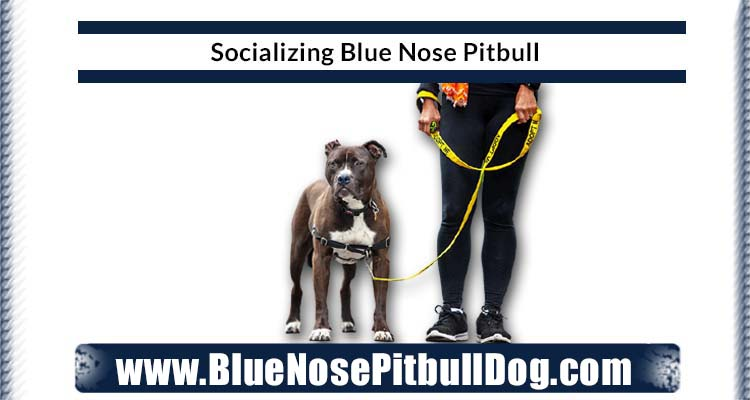 socializing blue nose pitbull