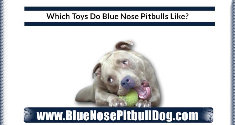 which toys do blue nose pitbulls like