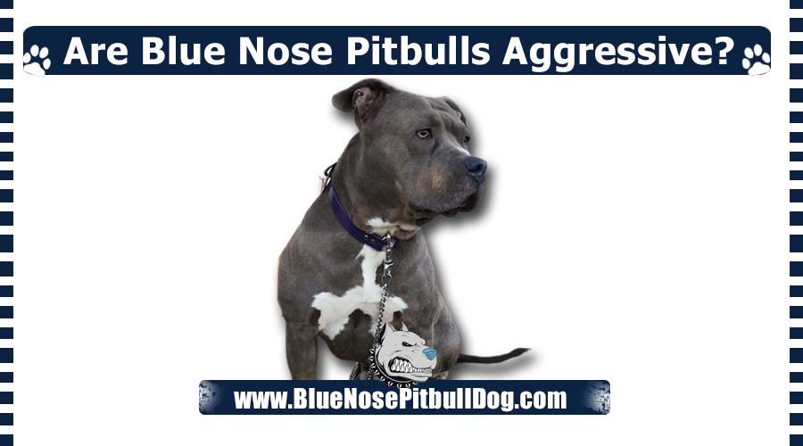 Are Blue Nose Pitbulls Aggressive