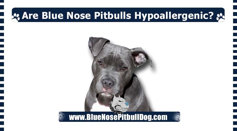 Are Blue Nose Pitbulls Hypoallergenic