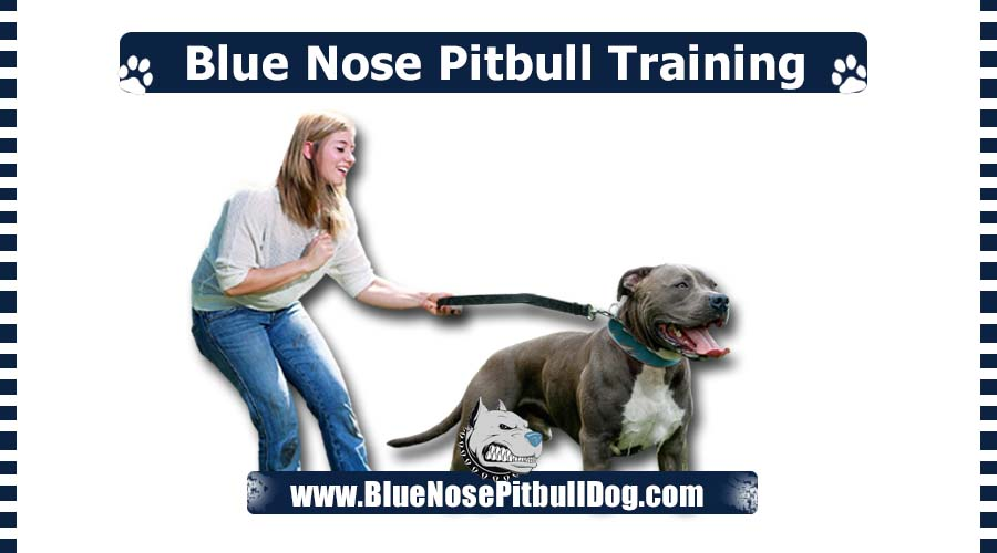 Blue Nose Pitbull Training