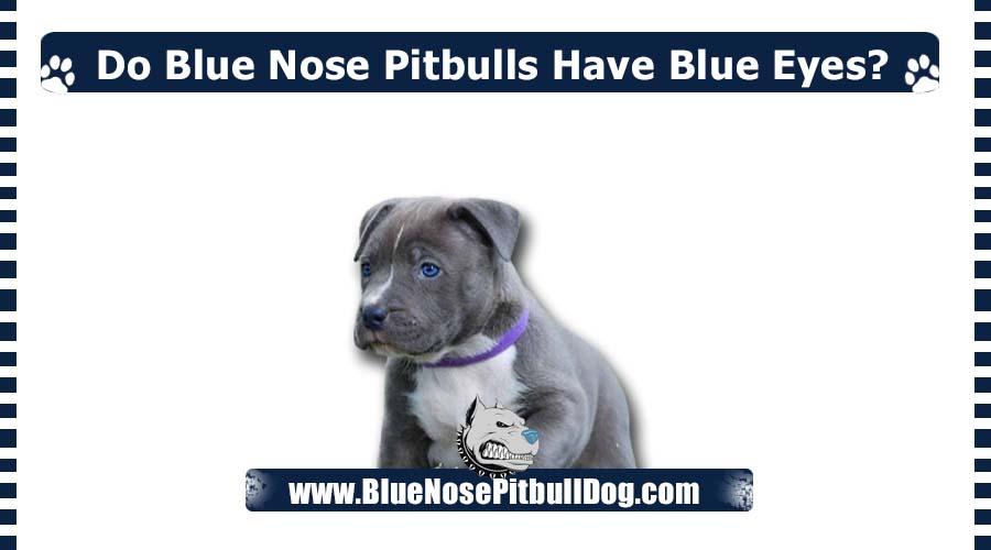 Do Blue Nose Pitbulls Have Blue Eyes