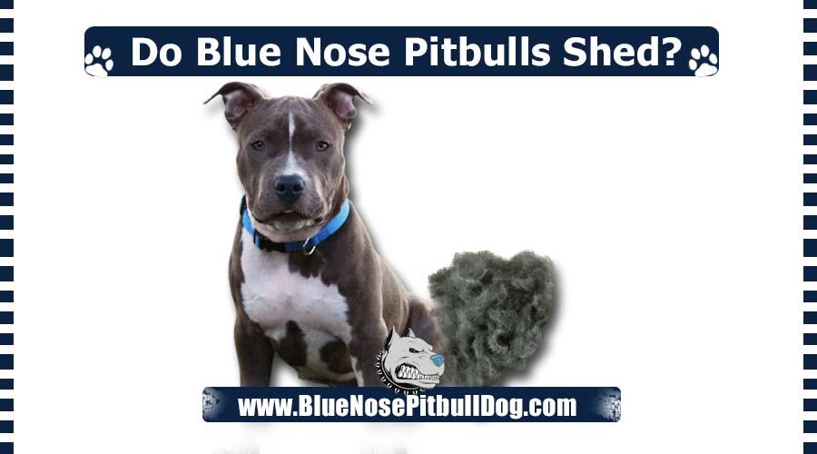 Do Blue Nose Pitbulls Shed