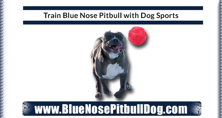 Training of Blue Nose Pitbull with Dog Sports