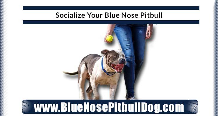 socialize blue nose pitbull