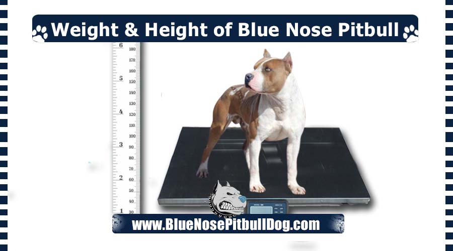 weight and height of a blue nose pitbull