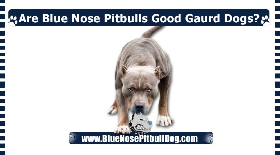 Are Blue Nose Pitbulls Good Gaurd Dogs
