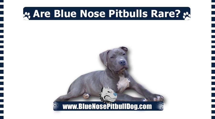 Are Blue Nose Pitbulls Rare?