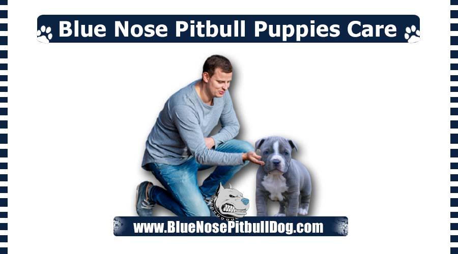 Blue Nose Pitbull Puppies Care