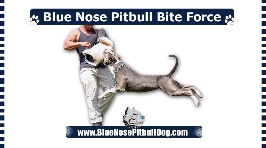 Blue Nose Pitbull Bite Force