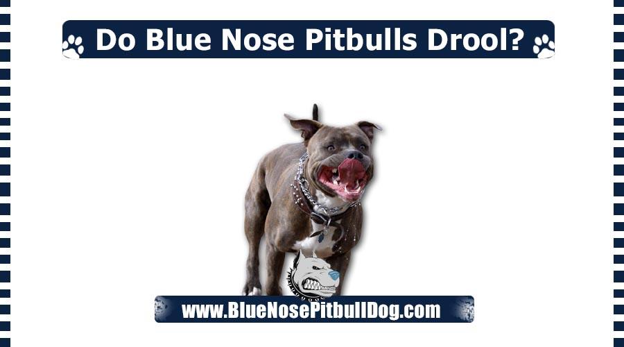 Do Blue Nose Pitbulls Drool