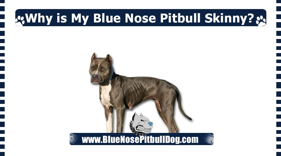Why is My Blue Nose Pitbull Skinny